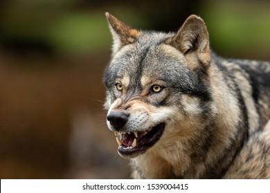 Porträt eines grauen Wolfes, der im Wald wütend ist