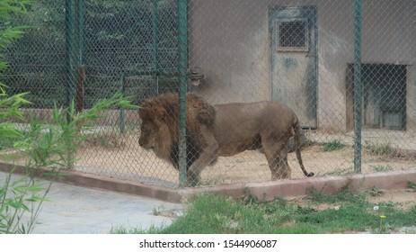 in de kooi zit 's werelds wildste leeuw