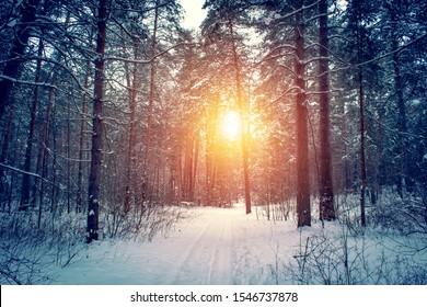 冬の森と明るい太陽光線のある風景。美しい雪に覆われた森の中の日の出、日没。