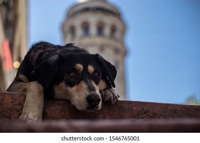 Hund liegt vor Galatasaray Turm in Istanbul
