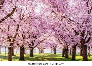 Sakura Cherry blühende Gasse. Wunderschöner Landschaftspark mit Reihen blühender Kirsch-Sakura-Bäume und grünem Rasen im Frühjahr, Deutschland. Rosa Blüten des Kirschbaums.