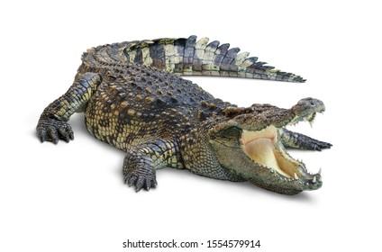 Großer offener Krokodilmund lokalisiert auf weißem Hintergrund. Beschneidungspfad.