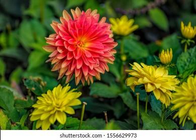 Orange und gelbe Blüten der blühenden Dahlie, einer mexikanischen Pflanze mit Knollenwurzeln, die im Herbst im Garten wegen ihrer bunten Einzel- oder Doppelblüten kultiviert wird.