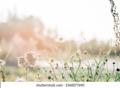 wilde Gänseblümchen in einem Feld der wilden Blumen bei Sonnenuntergang