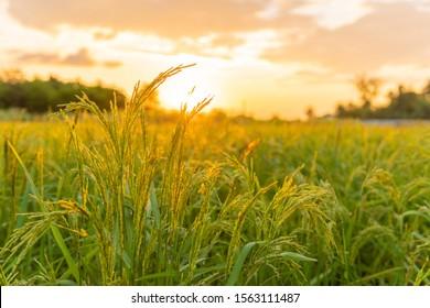 campo de arroz en hermoso amanecer