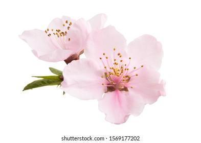 Sakura Blumen lokalisiert auf weißem Hintergrund