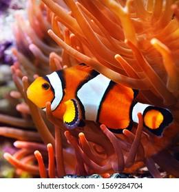 イソギンチャクのカクレクマノミ。自然の海洋環境