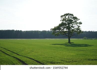 Un solo árbol de pie solo con cielo azul y pasto.