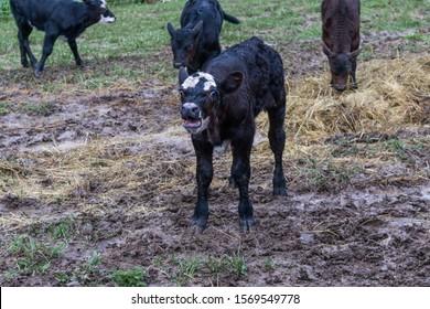 農場で干し草の穀物のお母さんと赤ちゃんを食べて外の肥育場の牧草地で牛の牛の子牛の子牛