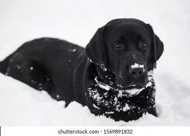 冬の雪の公園で屋外で遊ぶ黒い大きなラブラドール犬のクローズアップの肖像画。水平カラー写真。