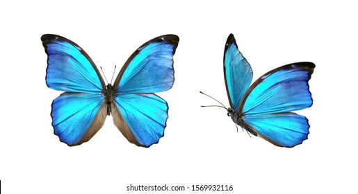翼を広げて飛行中の白い背景、クローズアップマクロで隔離された2つの美しい青い熱帯の蝶を設定します。