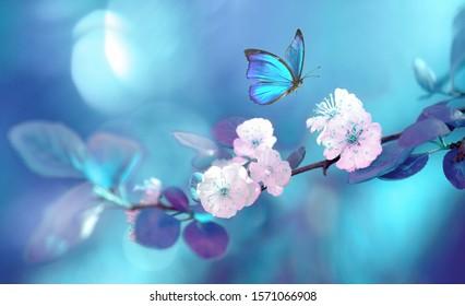 Schöner blauer Schmetterling im Flug über Zweig des blühenden Aprikosenbaums im Frühjahr bei Sonnenaufgang auf hellblauem und violettem Hintergrundmakro. Erstaunlich elegante künstlerische Bildnatur im Frühjahr.