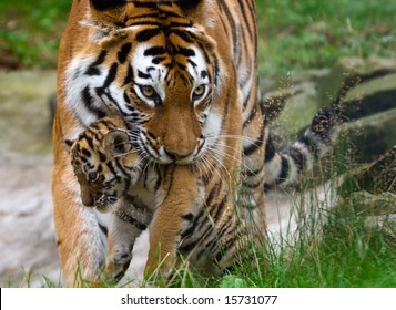 Tigre siberiano (tigre Panthera tigris altaica) con un bebé entre los dientes