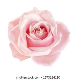 hellrosa Rosenblüte auf weißem Hintergrund