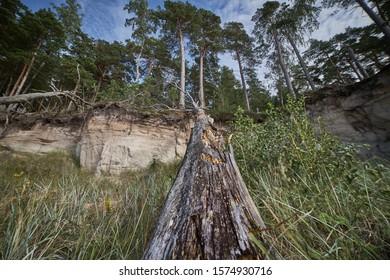 Daño de la tormenta. Árboles derribados en el bosque después de una tormenta.
