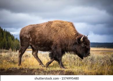 アメリカ、ワイオミング州のイエローストーン国立公園を歩いて食べ物を探しているアメリカバイソン。