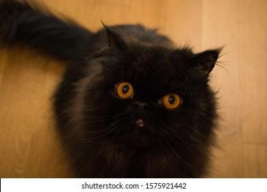 schwarze persische Katze mit orange Augen auf orange Hintergrund