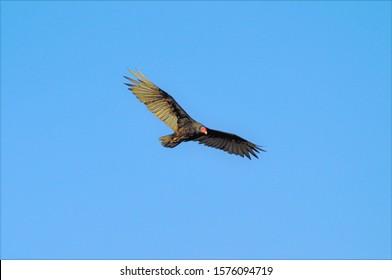 美しい青い空-自由の概念の下で飛んでいるヒメコンドル