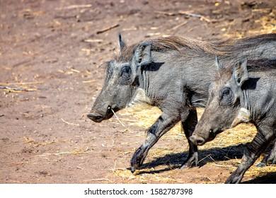 Warthog (Phacochoerus aethiopicus) corriendo a lo largo de un camino de tierra para un safari en la reserva de Bandia, Senegal. Es una foto de vida salvaje de África. Son retratos de animales.