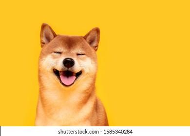 黄色の幸せな柴犬犬。赤毛の日本の犬の笑顔の肖像画。イルミネーションカラー