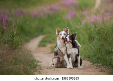 two dogs hugging together for a walk. Pets in nature. Cute border collie in a field in colors. St. Valentine's Day. love story