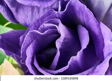 紫トルコギキョウの花がマクロ撮影をクローズアップ