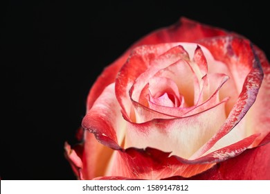 red and white rose on black background macro