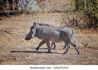 Warthog, Phacochoerus aethiopicus corre a lo largo de un camino de tierra para realizar un safari en la reserva Bandia, Senegal. Es una foto de vida salvaje de África.