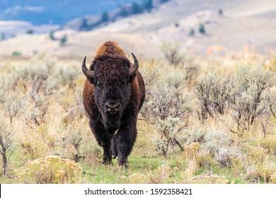 山の草原を歩く大きな孤独な雄牛のバイソン