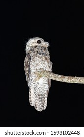 Great Potoo bird perched on dry branch after feeding on insects on moonlit night. Night and dark sky. Very blurred background. Shallow depth of field.