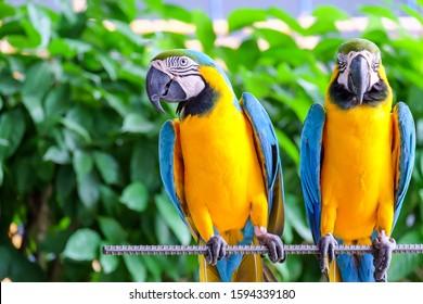 カラフルな羽を持つ2つの長い尾のコンゴウインコのオウム。コンゴウインコの鳥のクローズアップ。青黄色のコンゴウインコのオウムの肖像画。自然の背景があります背景がぼやけたソフトフォーカス。