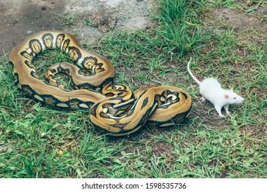 Der Mensch füttert die Ballpython (Python Regius) mit der weißen Maus im grünen Graspark.