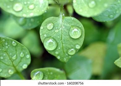 緑の葉に露の滴