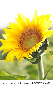 Schöne Sonnenblume in der Apfelerntefarm