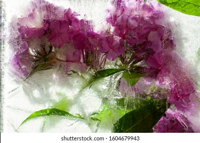 Phlox. Pink flower. Fancy flowers. Frozen Flora. Frozen flowers. Frozen beautiful flower. Flower on an isolated background.