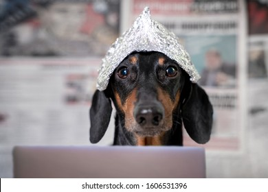 Suspicious dachshund dog in foil hat with laptop looking at camera, front view, blurry newspapers with conspiracy theories in background. Fear of aliens or radiation exposure from antennas and gadgets
