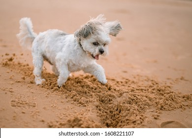 A little cute white dog playing with sand on the beach