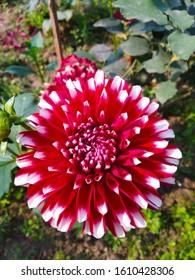 Dahlia Fubuki Đỏ và Trắng trong vườn.
