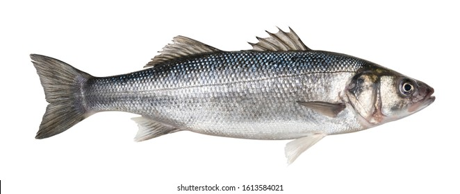 生のシーバス。クリッピングパスと白い背景で隔離の1つの新鮮なシーバスの魚