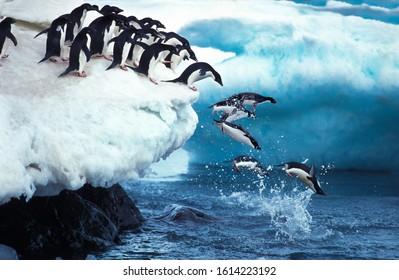 アデリーペンギン、pygoscelis adeliae、グループが海に飛び込む、南極のポーレット島