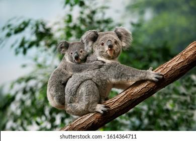 Koala, phascolarctos cinereus, vrouwtje met jong op zijn rug