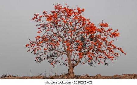 Flor de teca bastarda en árbol, flor de teca bastarda florecer en Tailandia