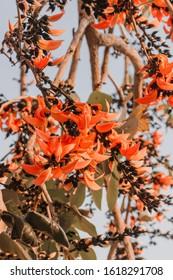 木にろくでなしチークの花、タイのバスタードチークの花が咲く