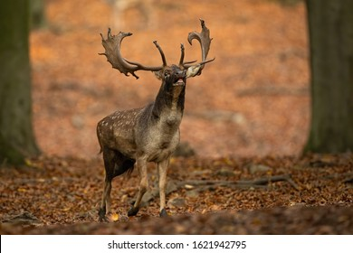 Powerful fallow deer, dama dama, stag roaring in autumn forest in rutting season. Wild male mammal calling with mouth open and protecting its territory in nature.