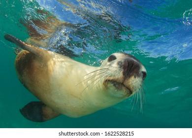 Australian Sea Lion close up