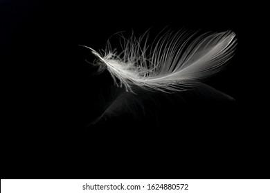 La pluma de un pájaro flotando en el agua sobre un fondo negro. Mira el sutil reflejo de la pluma en el agua.