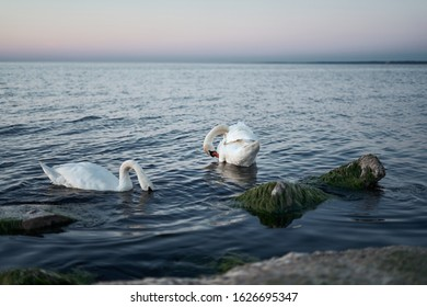 Couple of swans on the lake.