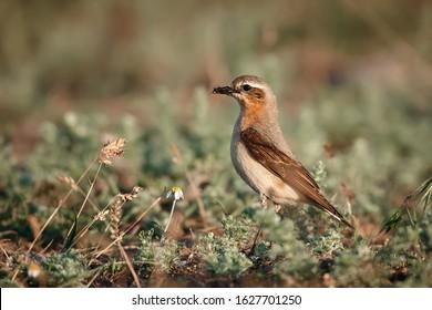ハシグロヒタキまたはサバクヒタキ(Oenanthe oenanthe)。女性は巣に食べ物を運びます。ルーマニアの野生動物。