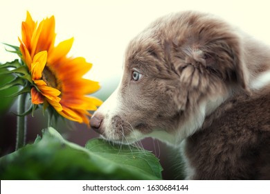 Gray puppy looks at a sunflower. Dog sunflower border collie pet puppy. Purple Border Collie and yellow flower.
