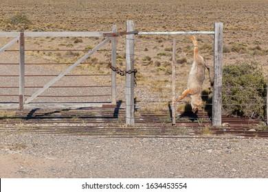 Numerosos zorros de las pampas asesinados en el cerco de una propiedad rural en la ruta 3, Argentina